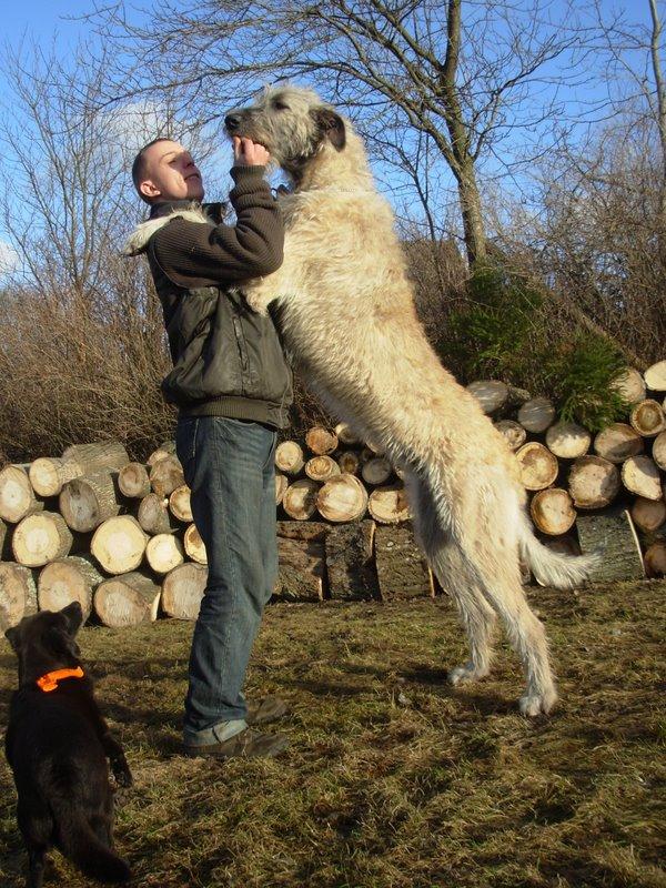 sagittarius  irish wolfhound   wilczarz irlandzki barbara