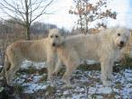 irish-wolfhound-337.jpg