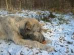 irish-wolfhound-351.jpg