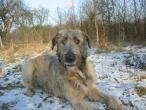 irish-wolfhound-354.jpg