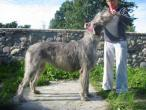 irish-wolfhound87.jpg