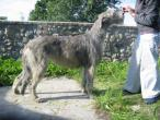 irish-wolfhound89.jpg