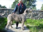 irish-wolfhound92.jpg